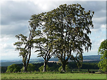NZ0255 : Beeches near Kiln Pit Hill by Stephen Richards