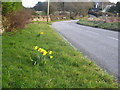 SW7731 : Roadside daffodils at Penwarne by Rod Allday