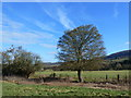 ST3894 : Tree on the field boundary, Newbridge on Usk by Ruth Sharville