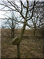 SE9853 : A knotted tree, south of Kirkburn  #1 by Ian S