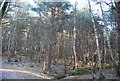 TQ5436 : Conifer woodland, Broadwater Down by N Chadwick