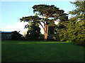 ST5678 : Blaise Castle Estate - notable cypress tree by the Dairy by C P Smith