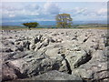 NY6011 : Coronation tree and limestone pavement on Crosby Fell by Tim Leete
