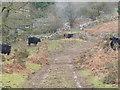 SH7618 : Welsh Black Cattle by liz dawson