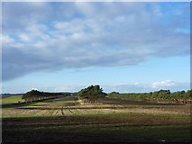 NT6281 : East Lothian Landscape : Shelterbelts at Lochhouses Links by Richard West