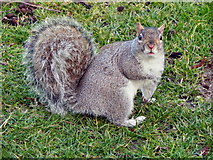 SJ3682 : Eastham Country Park, Squirrel by David Dixon