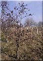 SJ8854 : Common Alder on Brindley Meadow by Jonathan Kington
