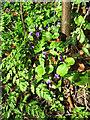 TG2006 : Violets beside a footpath in Eaton, Norwich by Evelyn Simak
