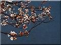 SX8060 : Blossom, Bridgetown by Derek Harper