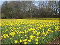 SW7730 : Small daffodil field at Penwarne by Rod Allday