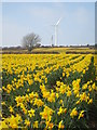 SW7634 : Daffodil field at Roskrow by Rod Allday
