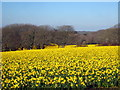 SW7630 : Daffodil fields at Higher Tregarne by Rod Allday