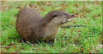 TQ3643 : Otter Cub at the British Wildlife Centre, Newchapel, Surrey by Peter Trimming