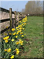 ST0104 : Daffodils by the B3181 by Derek Harper