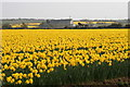 SW6635 : Daffodil field near Whistling Winds Farm by Elizabeth Scott