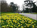 TQ1877 : Daffodils at Kew Gardens by Stephen Craven