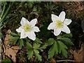 SS7408 : Wood anemones, Calves Bridge by Derek Harper
