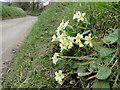 TG1835 : Ringbank Lane, Hanworth with primroses by Adrian S Pye