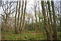 TQ7811 : Coppiced trees, Church Wood by N Chadwick