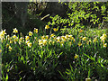 NZ6505 : Wild Daffodils near the River Esk by Colin Grice