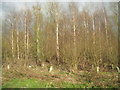 TL5064 : Young trees - Cow Hollow Wood by Enttauscht