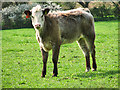 TG0741 : Calf in pasture west of Lowes Farm by Evelyn Simak
