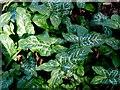 NU1211 : Arum italicum near Lemmington Hall by Andrew Curtis