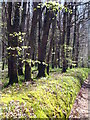 SW9250 : Beech trees in Trenowth Wood by Rod Allday