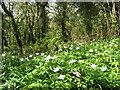 SW9250 : Wood anemones (Anemone nemorosa) on the roadside bank by Rod Allday
