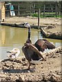 TQ5214 : Goose at Blackberry Farm by Oast House Archive