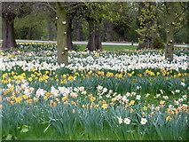 SE7170 : Daffodils in the Boar Garden, Castle Howard by pam fray