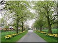 NZ2177 : Avenue of Daffodils by David Clark
