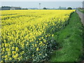 TF3705 : Rape on Long Drove near Murrow, Wisbech by Richard Humphrey