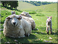 TV5797 : Sheep at Crapham Bottom by Oast House Archive