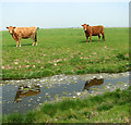 TG4807 : Cows and their reflections, Acle Marshes by Evelyn Simak