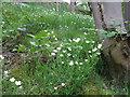 SE2701 : Stitchwort (stellaria holostea) by Matthew Hatton