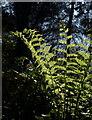 SX6248 : Fern in Tor Wood by Derek Harper