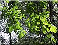 SJ8955 : Sun on the leaves by Jonathan Kington