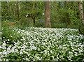ST6464 : Wild Garlic by Neil Owen