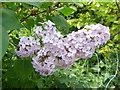 SU0725 : Syringa vulgaris, Bishopstone by Maigheach-gheal