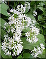 SU0625 : Ramsons (Allium ursinum), Bishopstone by Maigheach-gheal