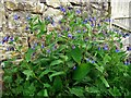 NT9811 : Comfrey (Symphytum officinale) by garden back gate of Tower House by Andrew Curtis