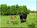 H6875 : Protective cow, Murnells by Kenneth  Allen