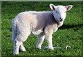 SH5471 : Lamb on Farmland, Anglesey by Christine Matthews