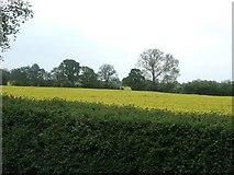 SX9890 : Field of rape by Oil Mill Lane by David Smith