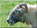 SU0625 : Wiltshire Horn, Bishopstone by Maigheach-gheal