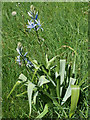 SK9226 : Great Camas (Camassia leichtlinii), Easton Walled Gardens by Kate Jewell