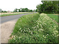 TM1298 : Cow parsley beside Silfield Road,  Ashwellthorpe by Evelyn Simak