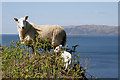 NM8026 : A Kerrera sheep and lamb on the edge by Walter Baxter