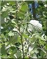 SP1865 : Grey Poplar in a stiff breeze by Robin Stott